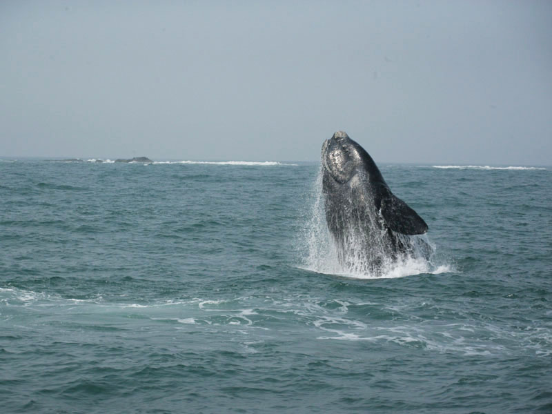 Recanto das Baleias - Baleia Franca