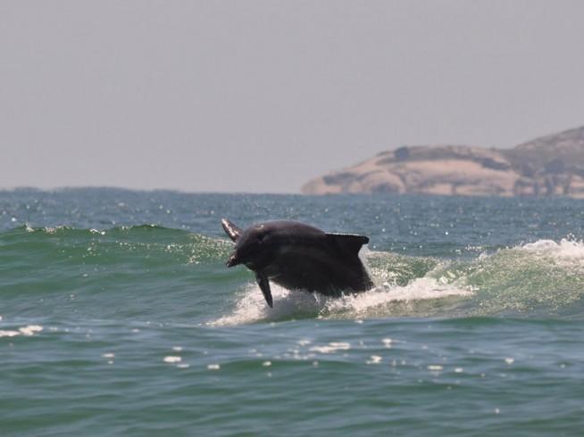 Golfinho pulando onda