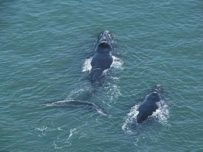 Baleia mãe e filhote