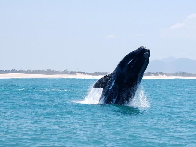 Baleia pulando